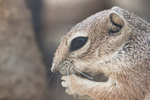 Thumbnail of harris_antelope_squirrel.jpg