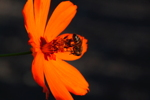 Thumbnail of orange_flower_bee.jpg