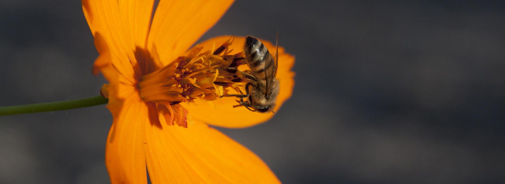 Bee collects pollen from a bright orange flower